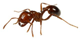Fire_ant_attack_2